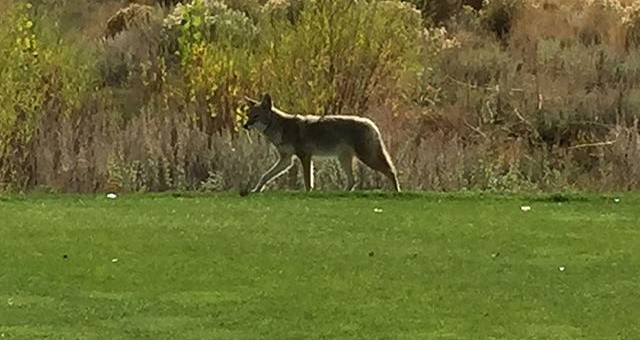 Wiley coyote on six tee at Redhawk hills course.